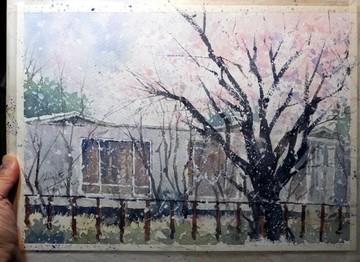 sakura_with_snow_trim.jpg